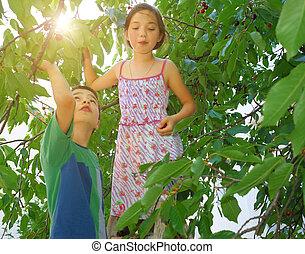 Children eating bing cherries - Children on ladders eating...