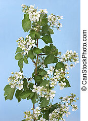 Blossom white on sky - Blossom white branch on sky cyan...