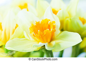Macro image of spring flower, jonquil, daffodil Delicate...