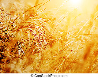 Sunny wheat field close-up. Agriculture background, golden...