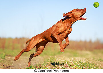 dog - Hungarian Vizsla