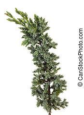 blue juniper  - Isolated branch of blue juniper macro