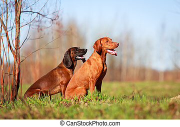 dog - Hungarian Vizsla and Bavarian Mountain dog