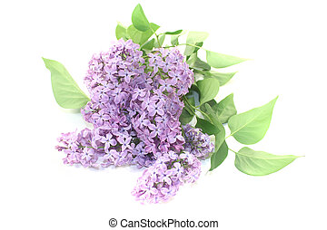 a bouquet of purple lilac blossoms on a light background
