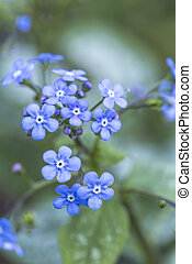 Forget me not flower closeup