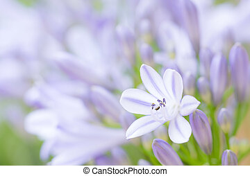 Agapanthus flower and buds