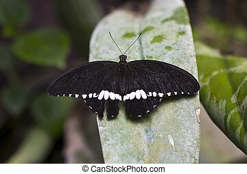 A large mormon Butterfly - An Asian black and white Mormon...