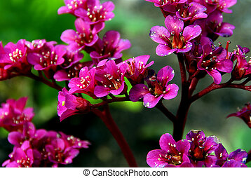 Bergenia Flowers - Close up of a magenta colored Bergenia...