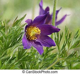 Pasque Flower (Pulsatilla Rubra), also called Prairie...