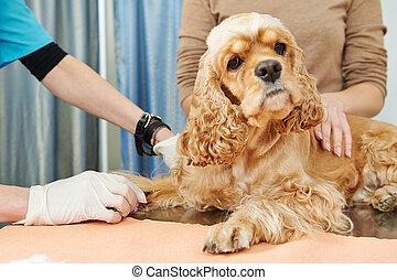 veterinário, sangue, teste, exame, cão
