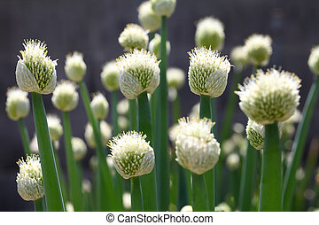onion flower - close up of green onion head blooming at...