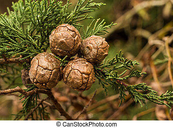 Cupressus Macrocarpa Seed Pods - Cupressus macrocarpa seed...