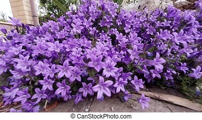 Dalmatian Bellflowers, Campanula - Low angle shot of...