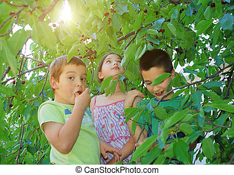 Children eating bing cherries - Children on ladders eating...