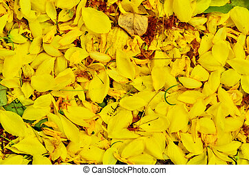 cassia fistula background