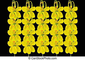 Cassia flower on black  background