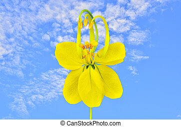 Cassia flower on blue sky background