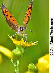 Boloria aquilonaris (Cranberry Fritillary) butterfly in...