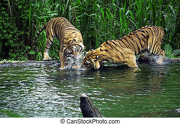 Tiger fights in lake at the Safari Park in Pasuruan, East...