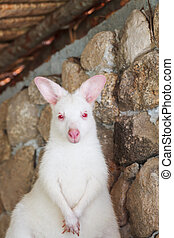 Kangaroo, white color