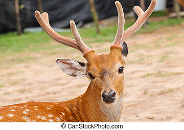 Deer head closeup