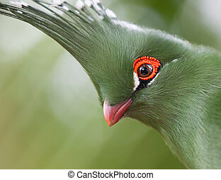 Head shot of Schalows Turaco Tauraco schalowi - Heas shot of...