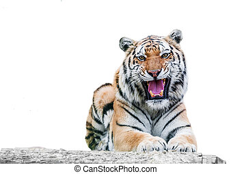angry growling tiger on a white background