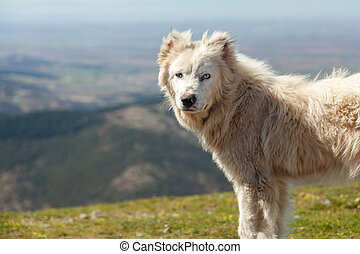 Sheepdog in Greek mountain