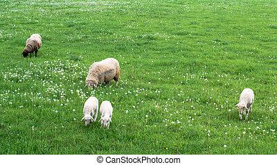 sheep, csinos, család