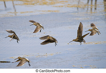 common snipe bird group A - beautiful group of common snipe...
