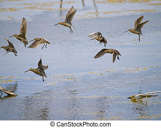 common snipe bird group B - beautiful group of common snipe...