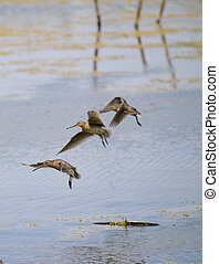 common snipe bird group C - beautiful group of common snipe...