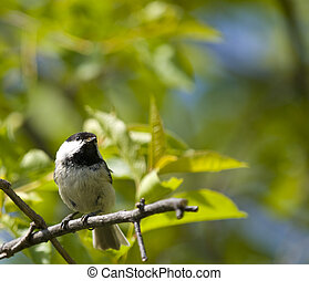 coal tit bird on a branch