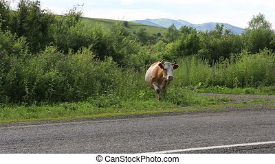 Cows go on the road Altai Krai Russia