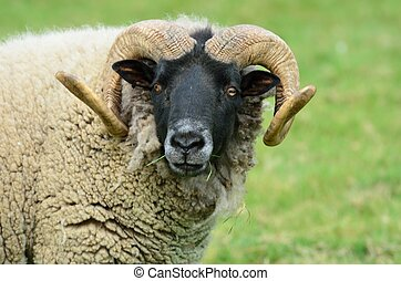 Ram looking at  camera - Ram looking towards camera