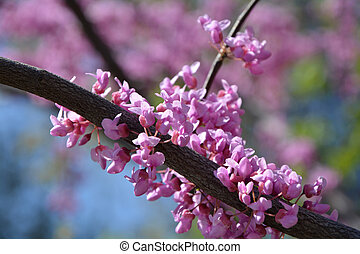 Judas tree branches closeup - Judas tree branches in blossom...