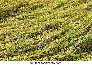 Rice field fall down