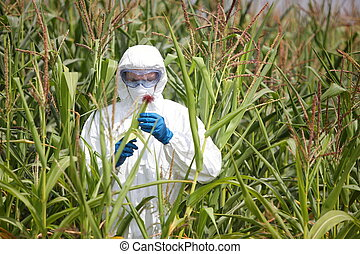 professional examining corn - GMO,professional in uniform...