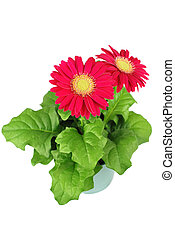 Red gerbera isolated on a white background