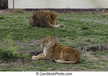 Portrait of two lions relax to go out in zoo Sofia, Bulgaria