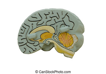 Model Brain - Educational model brain on white background,...