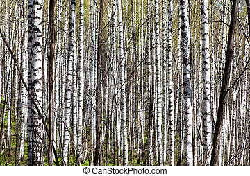 Deciduous birch forest with morning sunlight. Ural. Russia.