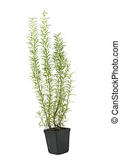 Rosemary herb in a pot