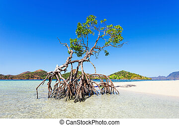 Mangrove tree - Lonely mangrove tree on the beauty beach