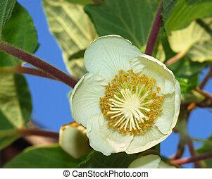 Kiwifruit female flower - Close-up of a kiwifruit female...