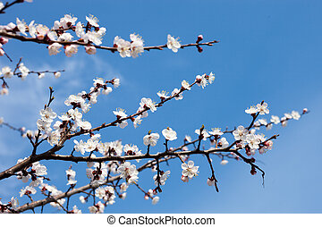 Apricot blossom branches against the blue sky.