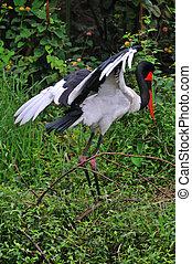 saddle billed stork near Arusha Tanzania