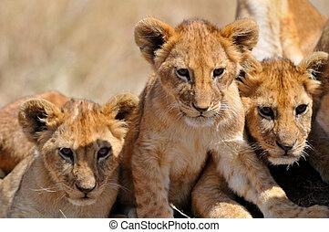 león, Cachorros