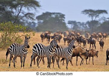 Animals on the Serengeti - zebras and Wildebeest on the...