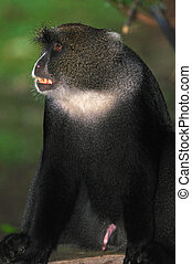 Blue Monkey - Agitated Blue Monkey bearing its teeth and...